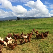 Supremely happy chickens.