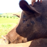Pig responds quite well to having its head scratched. Like a big, bristly puppy.