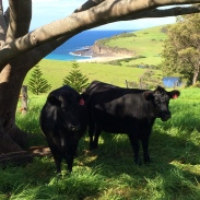 These fluffy-eared young Black Angus moo-cows munch the grass until it's the right length for the chickens to roam on, then move on to the next picturesque patch of land.