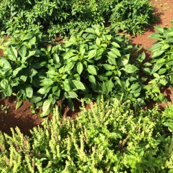 Basil and chilies going crazy in the market garden.
