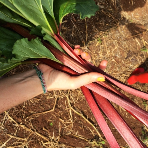 Supple rhubarb: picked for jamming.