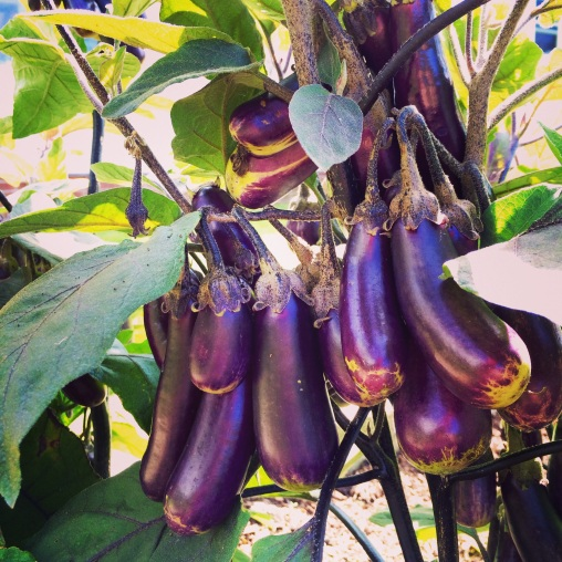 I knew eggplant was beautiful, but I never knew HOW beautiful.
